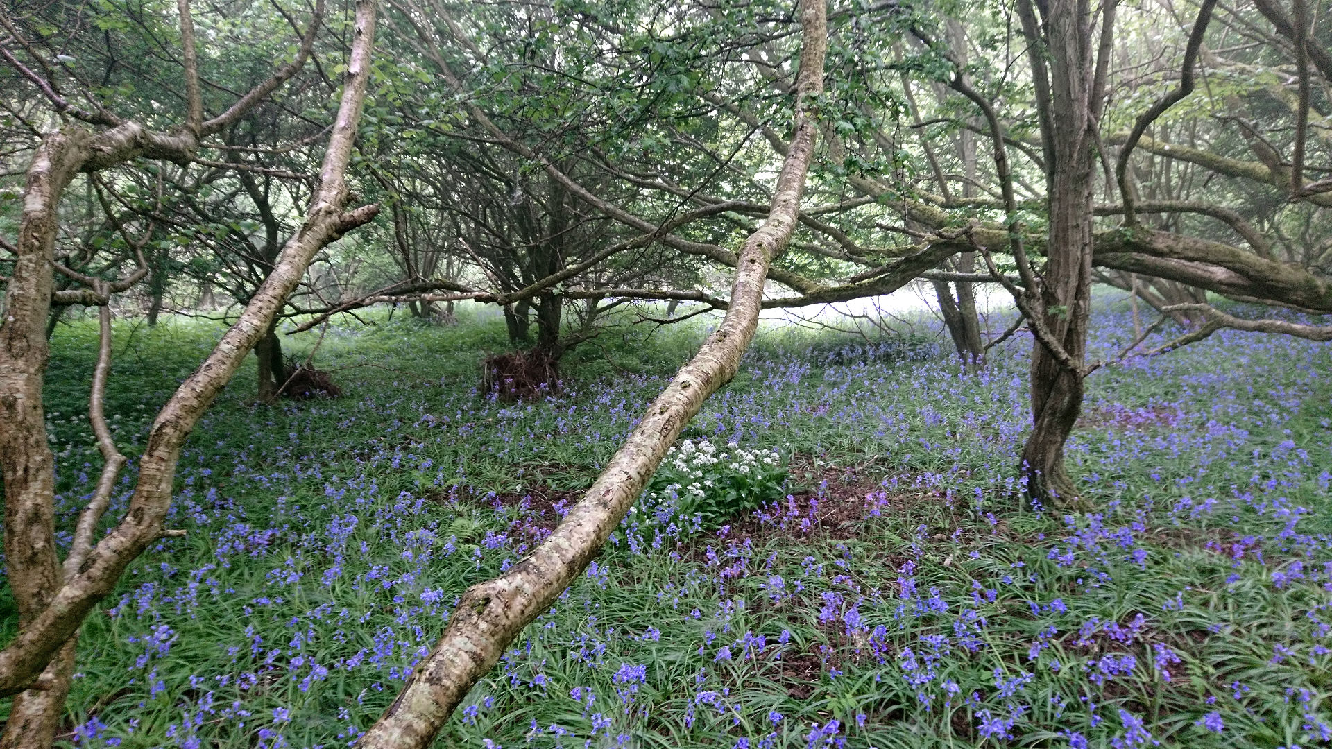a woodland with bluebells