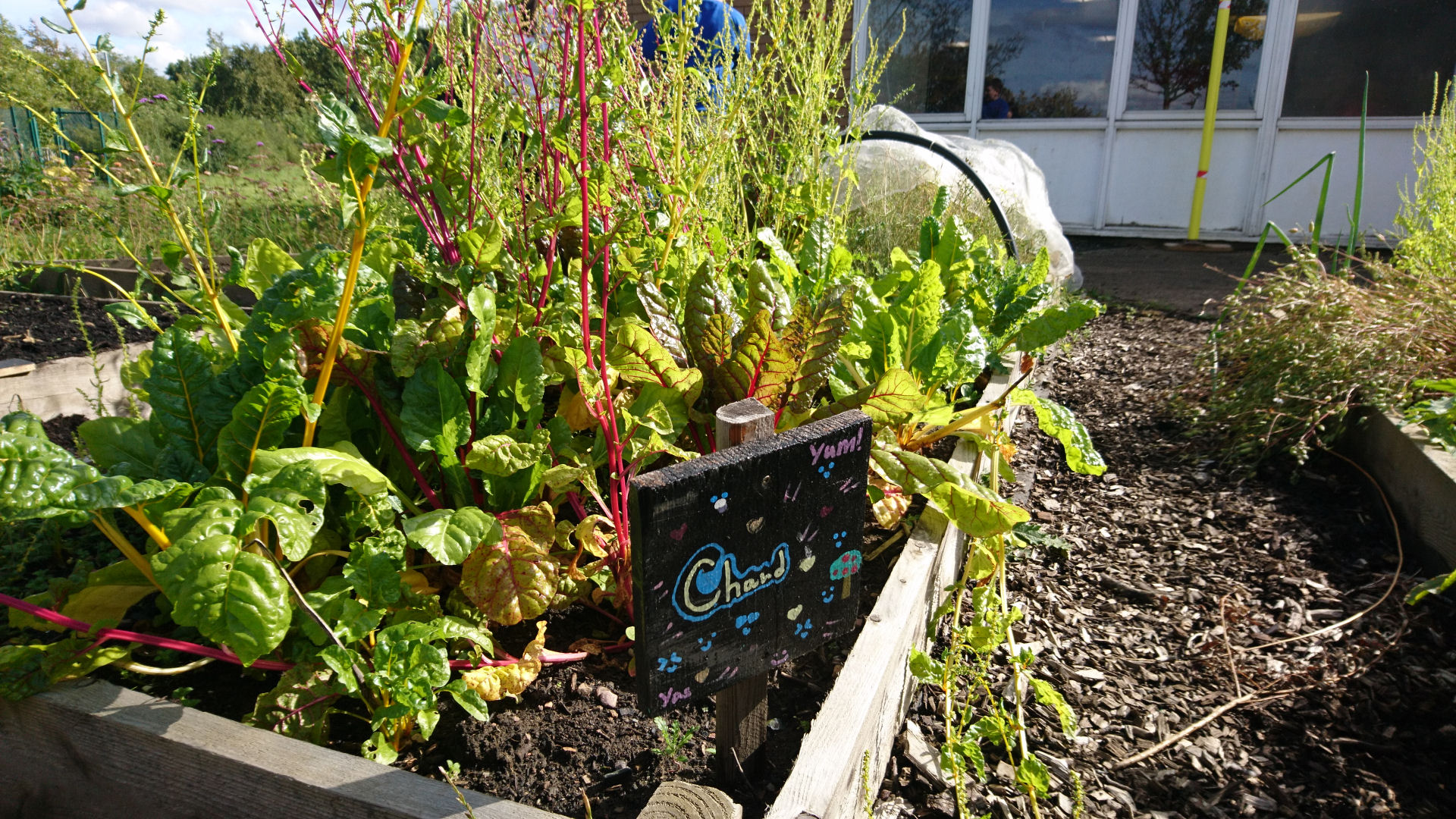 a planter in an allotment with a sign saying Chard